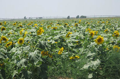 The field of sunflowers the sisters saw as they approached the town of their new ministry, Slaton, Texas.